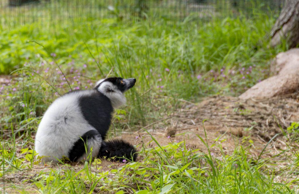 Wrocław zoo lemur