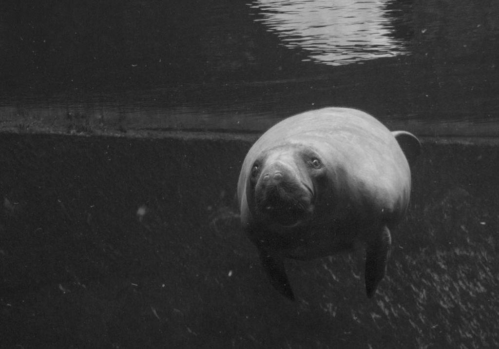Wrocław zoo manat